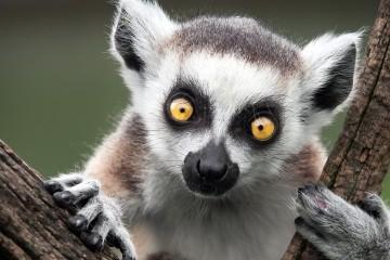 (tapeciarnia.pl)198662_lemur_katta_drzewo